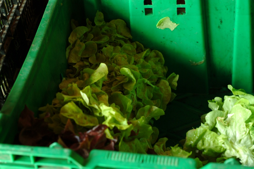 Red & Green Lettuce